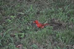 DSC_0031 (Gary Storts) Tags: cardinal gynandromorph gynadromorph orninthology birdwatching birds cardinalis northerncardinal cardinaliscardinalis