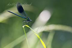 Blauflgel-Prachtlibelle (Frau Holle2011) Tags: natur wiese ufer makro fluss libelle insekt garten blauflgelprachtlibelle