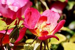 Maig_1147 (Joanbrebo) Tags: barcelona park flowers parque flores fleur blossom blumen fiori parc flors autofocus parccervantes efs18135mmf3556is canoneos70d 16concursinternacionalderosesnovesdebarcelona