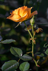 Glowing with Gold (Jocey K) Tags: autumn newzealand christchurch roses flower leaves may monavale
