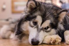 Chillin.... (vadenet) Tags: dog malamute alaskan