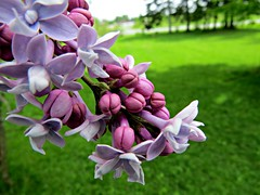 Lilacs Popping (clickclique) Tags: flowers green nature yard outdoors spring purple sweet outdoor lawn mauve buds scent lilacs burgandy sweetscent sweetscents
