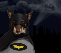 Batdog (aussiegall) Tags: dog ally bat batman batdog kelpie
