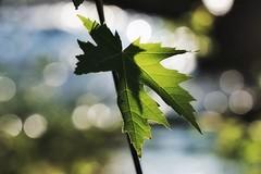 Close focus by the river (beyondhue) Tags: maple leaf green bokeh river sun light beyondhue ottawa
