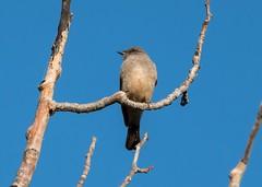 Eastern Phoebe (Adriana Faciu) Tags: bird nature edmonton small phoebe hermitage flycatcher saysphoebe