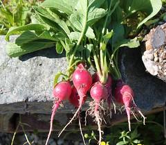 first harvest (Moon Rhythm) Tags: 6 garden seasonal harvest mygarden radish