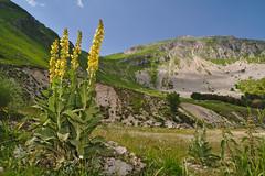 Verbascum alpinum (AIIex) Tags: mountain flower macro nikon wideangle fiore grandangolo montagna terminillo d90