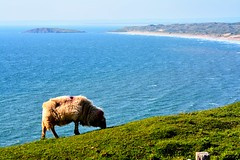 ...i shall not want. (doods-on-and-off) Tags: blue sea sky mist green beach water grass fog wales bay coast sheep sunny lamb gower rhossili ewe