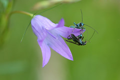 Battle of the Campanula (nyanc) Tags: travel wild portrait flower color male green nature netherlands animal insect outside prime spring fight nikon colorful europa europe flickr purple outdoor wildlife beetle nederland natuur sigma insects battle campanula lente insekt dier f28 animalia limburg bloem kever kleur insecta oedemeranobilis thickleggedflowerbeetle falseoilbeetle d5200 swollenthighedbeetle earthnaturelife battleofthecampanula
