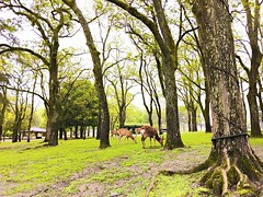 () Tags: sky tree green nature beauty field grass animal japan truck landscape outdoors kyoto day snapshot tranquility scene deer   nara tranquil grazing grassy iphone  herbivorous