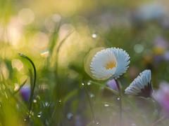 Once on a sunny morning..... (Quitschiehund) Tags: lensbaby bokeh outdoor natur velvet sonne 56 gnseblmchen morgenlicht velvet56