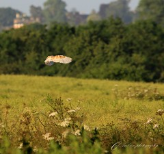 hovering (~ **Barbara ** ~) Tags: trees wild field landscape open hunting bushes barnowl birdsofprey sigma150500 canon7dii