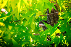 The Emperor (Sergio '75) Tags: italy naturaleza green nature colors sergio animal animals june canon outside outdoors colorful italia dof natural natur naturallight natura depthoffield emperor tamarin friuli imperatore friuliveneziagiulia tamarino kaiserschnurrbarttamarin ef70200mmf4lisusm sanguinusimperator canoneos70d sergio75