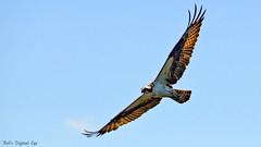 OSPREY FLIGHT (Bob's Digital Eye) Tags: bird nature animal canon inflight flickr outdoor wildlife flight backlit osprey birdsofprey flicker t3i wildbirds canonefs55250mmf456isstm bobsdigitaleye
