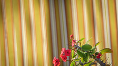 Red Flowers and Yellow Stripes (Theen ...) Tags: adelaide blind flowers long lumix madagascar outdoor plant red shadow spiky spiny stripes thebarton theen thorns vertical wicked
