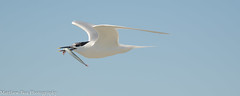 Sandwich tern (Thalasseus sandvicensis) (boamatthew) Tags: uk bird nature nikon wildlife tamron seabird wildlifetrust rspb cemlynbay commonturn d7000 150600mm