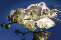 two faces (Renate Bomm) Tags: flower nature gesicht faces orchidee blte maske 2016 wihte weis 366 phalaenopsisamabilis flickerunitedaward renatebomm