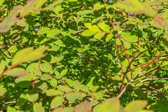 Blue berries (Bob_2006) Tags: june hike 2016 goldenearsprovincialpark evansvalley