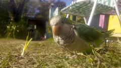 20160622_130856c (Faku_008) Tags: bird argentina natural parrot mascota quaker cotorra