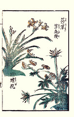 Butter-fly flower, monkshood and sedge (Japanese Flower and Bird Art) Tags: iris flower art japan japanese book picture japonica ranunculaceae woodblock monkshood ikeda eisen sedge iridaceae ukiyo butterflyflower aconitum cyperus chinense cyperaceae readercollection