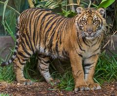 Suka (ToddLahman) Tags: baby canon teddy tiger tigers sumatrantiger joanne suka safaripark escondido canon100400 tigercub babytiger tigertrail sandiegozoosafaripark babysumatrantiger canon7dmkii babysuka