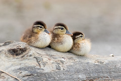 Ducks In A Row (ayres_leigh) Tags: bird nature duck woody chicks