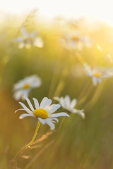 Love Summer! (Kathy ~ FineArt-Landscapes) Tags: summer light daisies flowers nature sunlight fineart bokeh dreamy meadow