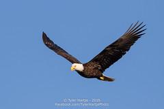 Bald Eagle (Tyler Hartje) Tags: bird washington state eagle bald