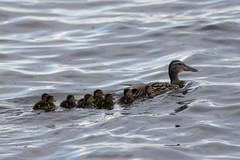 The Mallard family (Attolrahc) Tags: family summer lake bird nature birds june swimming canon finland eos dof babybird mallards birdphotography canonef70300mmf456isusm 60d canoneos60d birdsoffinland