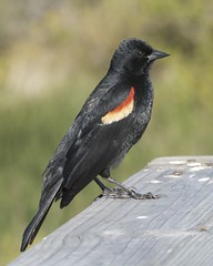 Red-winged Blackbird (Mikael Behrens) Tags: bird birdingcenter g3 mikaelbehrens portaransas texas wildlife