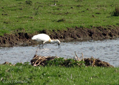 Lepelaar ( Annieta  Off / On) Tags: city holland bird nature netherlands canon nederland natuur powershot mei oiseau ville stad allrightsreserved vogel krimpenerwaard schoonhoven lepelaar platalealeucorodia eurasianspoonbill 2013 annieta usingthisphotowithoutpermissionisillegal ringexcellence sx30is