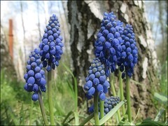 (Tlgyesi Kata) Tags: botanicalgarden grapehyacinth muscarineglectum commongrapehyacinth muscariracemosum botanikuskert frtsgyngyike tuzsonjnosbotanikuskert withcanonpowershota620