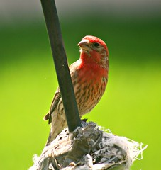 Red, House Finch (Lynn 3nglish, catching up) Tags: home redhousefinch bej lynnenglish582013