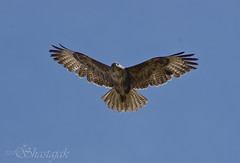 Buteo Buteo (Shastajak) Tags: bird flying wings pentax flight feathers buzzard buteobuteo k5 tamron18250mm pentaxk5