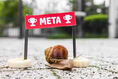 Race of snails (Piotr Kowalski) Tags: race start meta champion snail running ślimak helixpomatia wyścig macromarvels raceofsnails weinbergschneckelandlungenschnecken