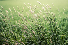 Windy Day (gomesben) Tags: flower green nature beauty field grass sunshine shine windy