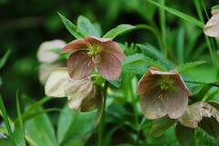 Hellebore (Errols Cuz) Tags: flowers ireland hellebore lismore countywaterford lismorecastle flowersandclouds teresaflynn madaboutflowers