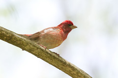 Purple Finch (Haemorphous purpureus) (Frode Jacobsen) Tags: maryland purplefinch fringillidae frodejacobsen canoneos7d haemorphouspurpureus