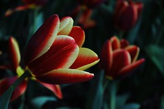 My Love (NATIONAL SUGRAPHIC) Tags: love spring tulips istanbul naturephotography ak emirgan ilkbahar laleler istinyepark emirganpark sugraphic