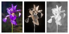 Iris sibirica 'Tropic-night' flower Vis-UV-IR (davidkennardphoto) Tags: life iris plants infrared plantae ultraviolet siberianiris vitae iridaceae floweringplants irphotography monocotyledons liliopsida magnoliophyta angiosperms biota irissibirica eukaryota asparagales uvphotography nectarguide irissibiricatropicnight