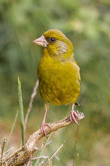 Greenfinch (stufoto1) Tags: bird canon wildlife finch greenfinch 100400l 60d