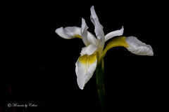 White Iris (Canon Queen Rocks) Tags: flowers iris plants white nature petals stem wildlife mothernature