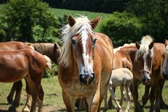 off duty (Jen MacNeill) Tags: horses horse animals rural pennsylvania farm country amish pa blonde chestnut belgian lancastercounty draft workhorse foal flaxen jennifermacneilltraylor jmacneilltraylor jennifermacneill jennifermacneillphotography