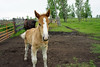 Checking Us Out (Roofer 1) Tags: belgian colt workhorse sunrays5