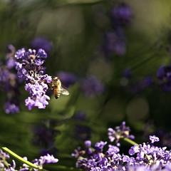 50 Shades of Lavender (Karen McQuilkin) Tags: macro garden lavender bee macrophotography shadesoflavender karenandmc 50shadesoflavender