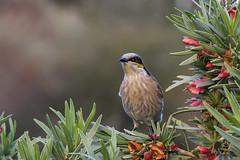 Singing Honeyeater - Port Augusta - Arid Lands Bot. Garden (CampaspeBirdo) Tags: 260 australianbirds singinghoneyeater lichenostomusvirescens australianhoneyeaters portaugustasa aridlandbotanicalgardens