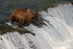 Lucky or Unlucky? (pdxsafariguy) Tags: bear fish alaska river waterfall bravo wildlife salmon spawning leaping sockeye brownbear ursusarctos brooksfalls tomschwabel katmainationalpark