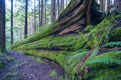 Old growth (Torrin Visual Media) Tags: forest washington moss nikon evergreen pacificnorthwest d300