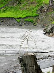 Dancing Tree Stump (Shiftwood Sculpture) Tags: travel sculpture plants art beach nature animals river landscape photography mobiles northwest driftwood