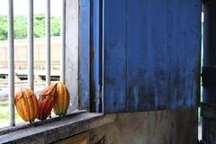 Cocoa (fuzzball5) Tags: door blue estate belmont grenada cocoa